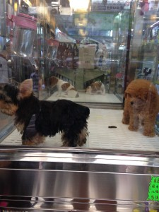 Puppies placed in glass cubes, for sale at a local pet store.